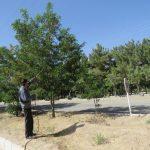 حسینی مسئول فضای سبز: سم پاشی تمامی درختان آفت دار سطح شهر در دستور کار قرار دارد